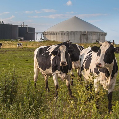Cattle in field with silo and storage tank in background